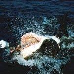 imágenes de un tiburón blanco, imagenes de el tiburon blanco, imagen de un tiburon blanco