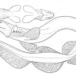 dibujos de tiburones grandes para colorear, dibujos de tiburones martillo para colorear, dibujos de tiburones megalodon para colorear