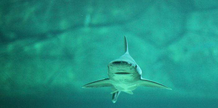 imagenes de los tiburones mas peligrosos del mundo, imagenes de tiburones animados, imagenes de tiburones animados para dibujar