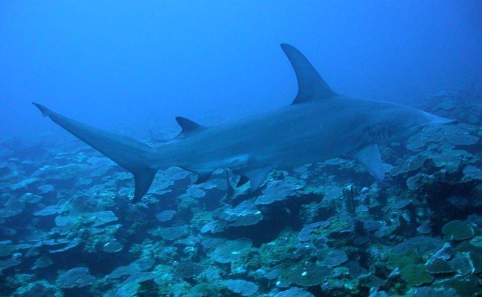 que es un tiburon para niños
