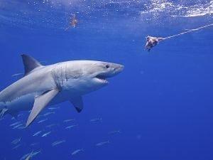 imagenes de tiburon blanco asesino,tiburones asesinos de personas, tiburones asesinos youtube