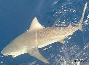 tiburon asesino video, asesino tiburones asesinos, documental tiburón asesino Sudafrica