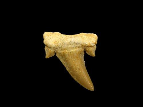 cuantos dientes tiene tiburones, cuantos dientes tiene la tiburones