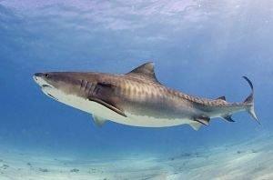 tiburones asesinos de humanos