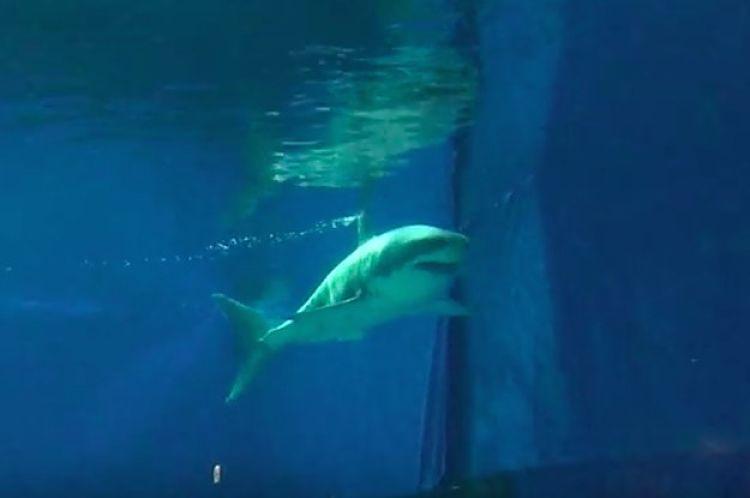 Tiburón blanco en acuario