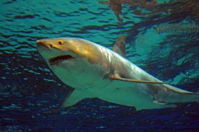 tiburon blanco en el acuario de veracruz, tiburon blanco para acuarios, tiburón blanco de acuario