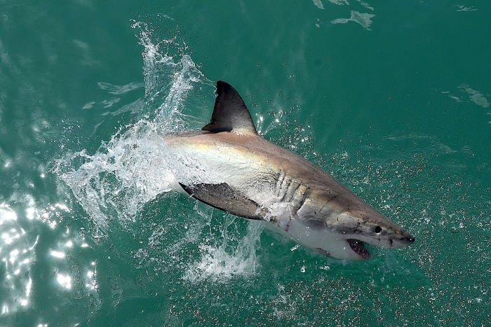q come el tiburon blanco, q come un tiburón blanco, que come el tiburon blanco y donde habita, que peces come el tiburon blanco