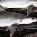 tiburon lechero