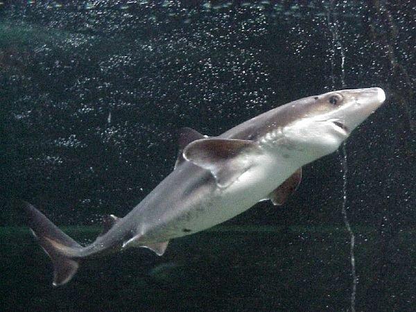 tiburon perro