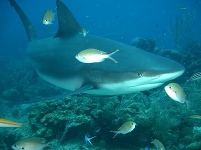 Carcharhinus Perezi fotos