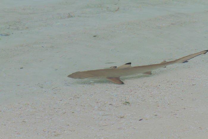 imagenes de tiburones bebes animados, dibujos de tiburones bebes para colorear, imagenes de tiburones bebes para colorear, tiburones bebes naciendo, tiburón bebé en la vida real