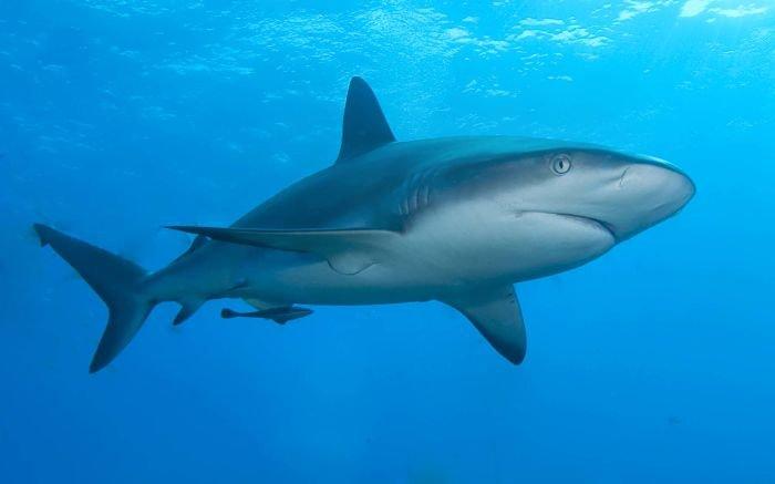 Tiburon de arrecife del caribe