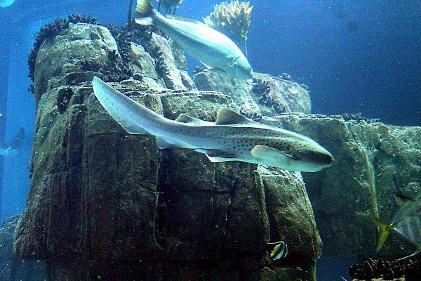 imagenes de tiburon cebra, tiburon cebra alimentacion, tiburon cebra fotos, tiburon cebra virgen japonesa, tiburones de cebra