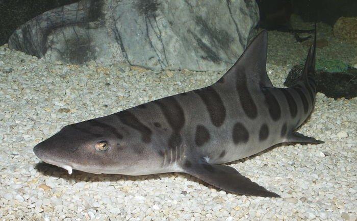 tiburon leopardo alimentacion, tiburon leopardo caracteristicas, tiburon leopardo imagenes, tiburon leopardo reproduccion