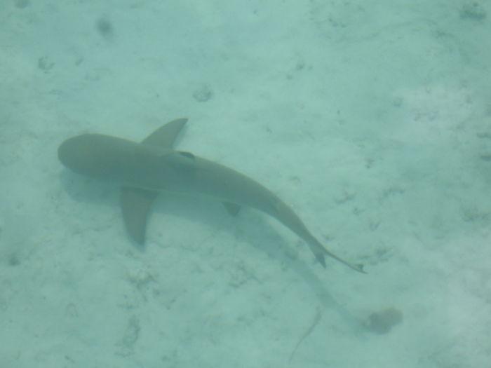 tiburones bebes para colorear, tiburones bebes para peceras, tiburones bebés de verdad, tiburón bebé de foto, tiburón bebé del mar, tiburón bebé fotos